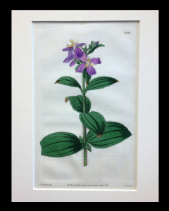 Curtis. Botanical. 1832