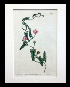 Curtis. Botanical. 1807