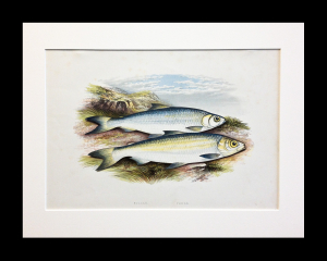 Houghton. British Freshwater Fish. 1868. matted size 20 x 16